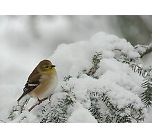 American Goldfinch in Snow Storm Photographic Print