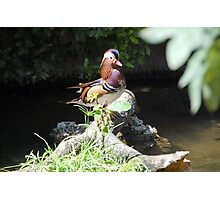 Mandarin Duck in Miami Photographic Print