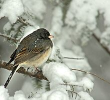 Dark Eyed Junco in Snow Storm by Michael Mill