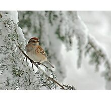 Tree Sparrow in Snow Storm Photographic Print