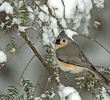 Tufted Titmouse in Winter Snow Storm by Michael Mill