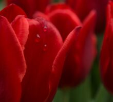 Vibrant Red Spring Tulips Sticker