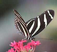 Black & white Zebra longwing (Heliconius Charitonius)  by DutchLumix