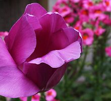 Purple Tulip by CherylBee