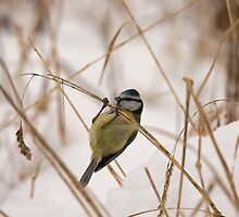 bluetit by Jon Lees