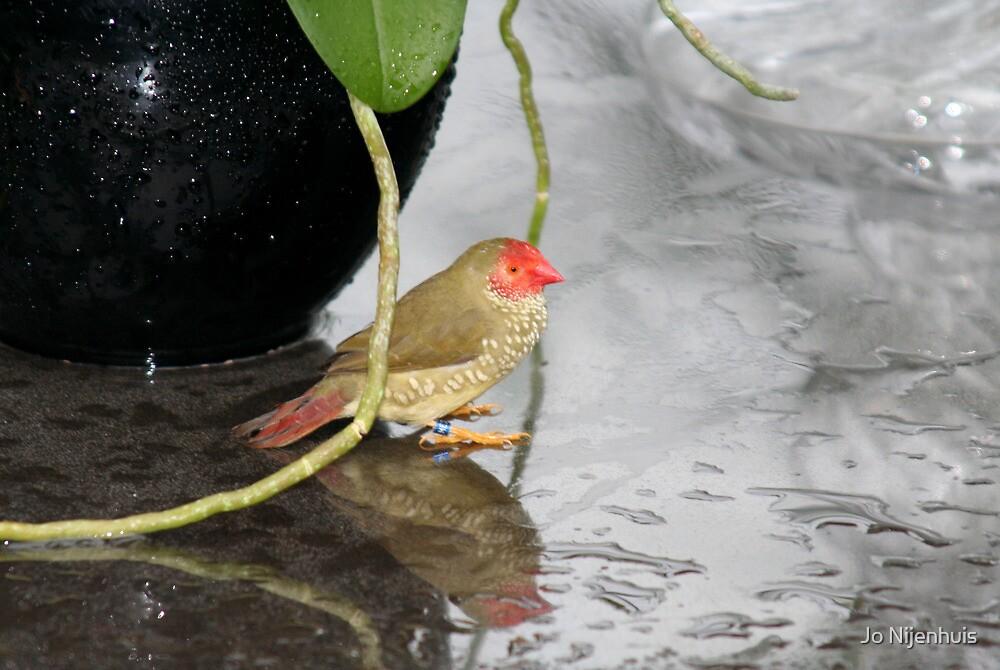 Star Finch - Hiding for the Rain by Jo Nijenhuis