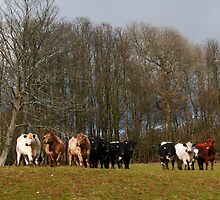 Lined up herd by zumi