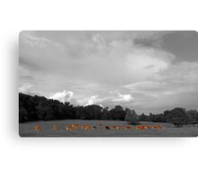 Select Herd Canvas Print