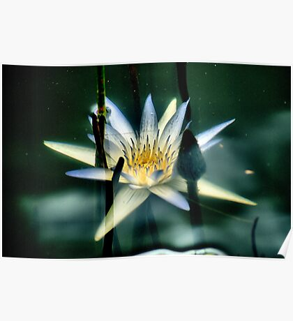 Underwater Lily Poster