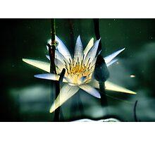 Underwater Lily Photographic Print