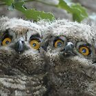 Spotted Eagle Owl Chicks by Selsong