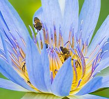 Bees on Water Lilly by Selsong