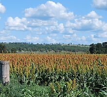 Sorghum Crop Coolah by Julie Sherlock