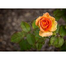 Brass Band Rose Photographic Print