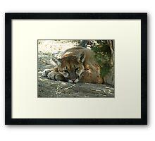 "Mountain Lion ""Bob"" Framed Print"