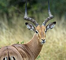 Impala Male by Michael  Moss