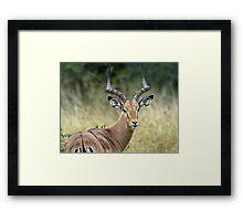 Impala Male Framed Print