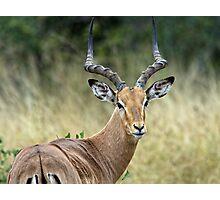 Impala Male Photographic Print