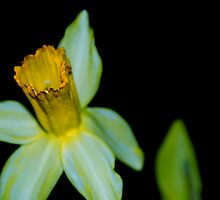 Daffodil of the Chill Morn   by Kirby Vaillant-White