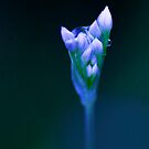 Out of the Blue - chive flower  by Jenny Dean