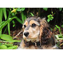 Cocker Spaniel Puppy Introspection. Photographic Print