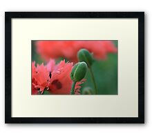 Poppy Bloom Framed Print
