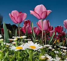Floriade Tulips by ken47