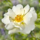 A white bloom. by Dave Hare