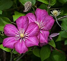 Pink Clematis by PhotosByHealy