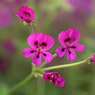 Pink Geranium  by Diana Graves Photography