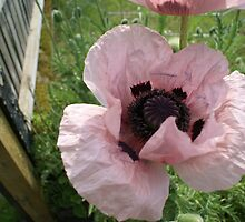 Pink poppy - the biggest I've ever seen! by BronReid