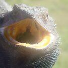 Frillneck lizard....Dental check up!! by marieangel