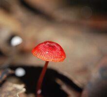 """Mycena viscidocruenta aka """"Ruby Bonnet"""" by salsbells69"""