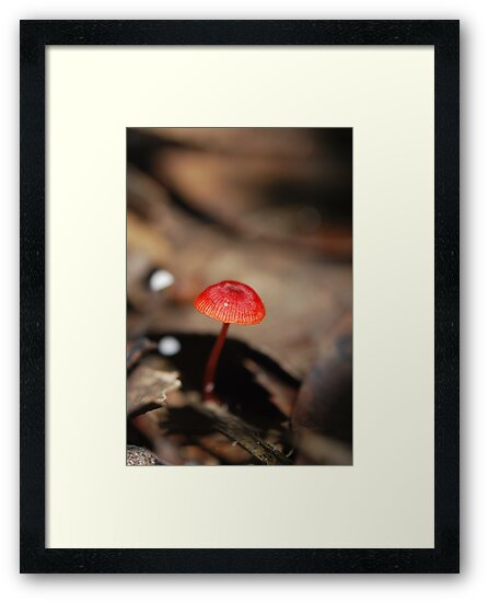 "Mycena viscidocruenta aka ""Ruby Bonnet"" by salsbells69"