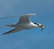 My Tern by Selsong