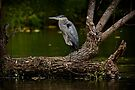 Blue Heron on Log - Ottawa, Ontario by Michael Cummings