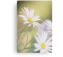 Softly Softly - white daisies Canvas Print
