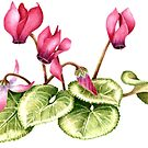 Cyclamen persicum - watercolour  by Babz Runcie