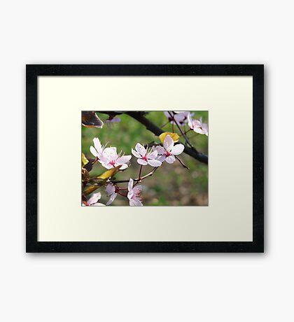 Cherry blossoms in full bloom.  Framed Print