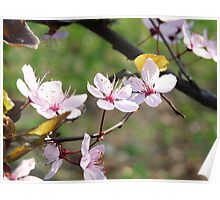Cherry blossoms in full bloom.  Poster