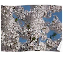 Cherry blossoms in full bloom on a sunny day. Poster