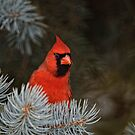 Male Northern Cardinal - Ottawa, Ontario by Michael Cummings