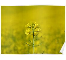 Canola bloom within a yellow coloured ocean. Poster