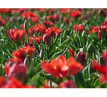 Field laced with red tulips in full bloom. Photographic Print