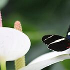 Butterfly on a Anthurium  by DutchLumix