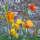 watercolour poppies by Babz Runcie