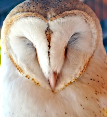 Sleeping Barn Owl Sticker