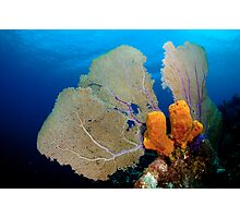 Yellow Sponge & Fan coral symmetry Photographic Print