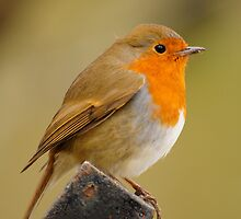Robin by Ian Tilly