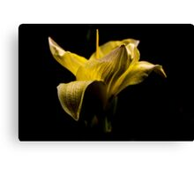 Yellow Lily Awakening Canvas Print